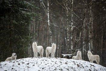 polarwolf-4686720_640.jpg